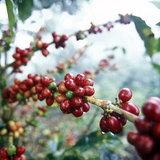ต้นกาแฟ