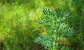 ต้นไม้ปลูกไว้คุณสมบัติไล่แมลงร้าย ไล่ยุงได้ปลอดภัยไร้สารพิษ