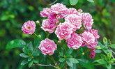 ปลูกกุหลาบอย่างไร  ให้ออกดอกสวยทั้งปี