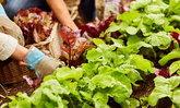 """ระยะห่างทางผัก """"ผักคู่อริ-ผักคู่มิตร"""" ผักชนิดไหนควรปลูกห่าง ปลูกใกล้ รู้ไว้ไม่ทำร้ายผัก"""