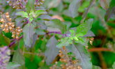 วิธีปลูกกะเพราแดงไว้ทานเองที่บ้าน พืชลัมลุกมากประโยชน์