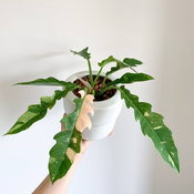 Philodendron Ring of Fire Variegata