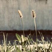 หญ้าหางหมาจิ้งจอก