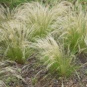 หญ้าขนเม็กซิกัน