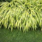 หญ้า Hakone