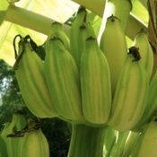 กล้วยน้ำว้าด่าง