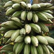 กล้วยฟลอริดาด่าง