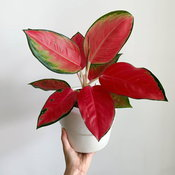 Aglaonema Red Zircon