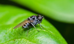 วิธีกำจัดแมลงหวี่แบบง่าย ๆ ไม่พึ่งสารเคมี