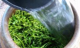 ปลูกผักบุ้งในโอ่ง ปลูกง่าย โตเร็ว เก็บได้หลายครั้ง