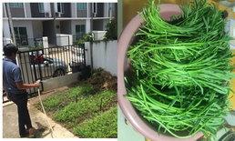 """ปลูกผักบุ้งไว้ทานเอง ที่พื้นที่สวนหน้าบ้าน """"เหตุเกิดจากผัดผักบุ้ง"""""""