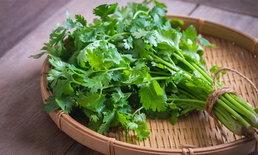 วิธีเก็บผักชีให้สด และมีอายุอยู่ได้นานขึ้น