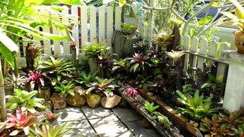 """ไอเดียจัดสวน """"สับปะรดสี"""" พันธุ์ไม้ทนแดด ร้อนแค่ไหนสับปะรดสีทนได้"""