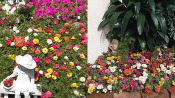 """ไอเดียการจัดสวนสวยๆ หวานด้วย Moss rose """"แพรเซี่ยงไฮ้"""" สีสันมากมาย"""