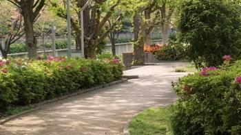 เหตุผลที่คนญี่ปุ่นนิยมปลูกต้นกุหลาบพันปีและต้นแปะก๊วยไว้ริมถนน