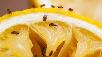 """วิธีกำจัด """"แมลงหวี่"""" ให้ได้ผล แบบไม่กลับมากวนใจ"""