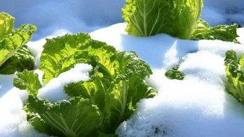 ทำไมผักหน้าหนาวในญี่ปุ่นจึงหวานอร่อยมากกว่าฤดูกาลอื่น