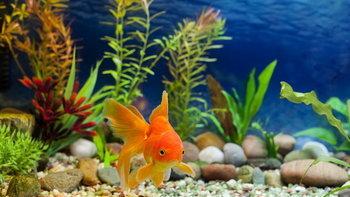 ปลานำโชคมีปลาอะไรบ้าง แนะควรเลี้ยงสริมความมั่งคั่ง ร่ำรวย