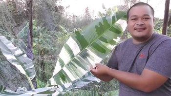 """""""กล้วยด่าง"""" ไม้ประดับบ้านแนะนำ แถมปลูกขายสร้างรายได้หลักแสนต่อเดือน"""