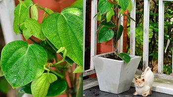 แต่งมุมบ้านให้สวยด้วยต้นพริกไทย พืชสวนครัวปลูกง่าย แถมได้ประโยชน์