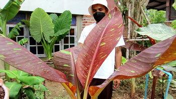 """รู้จัก """"กล้วยแดงอินโดด่าง"""" อีกหนึ่งสายพันธุ์กล้วยด่างยอดฮิต ทำราคาได้หลักล้าน"""