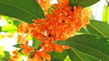 3 ดอกไม้ที่ได้ชื่อว่ามีกลิ่นหอมมากที่สุดในญี่ปุ่น