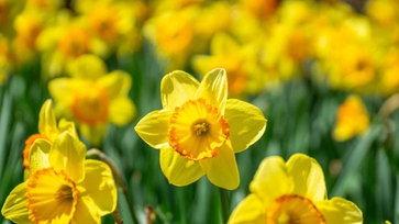 ดอกไม้ที่คนญี่ปุ่นนิยมปลูกไว้ในสวนเพื่อชมความงามในช่วงเดือนกุมภาพันธ์