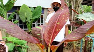 ยังฮิตไม่เลิก กล้วยด่างแดงอินโดราคา 1 ล้าน โอนทันที ไม่มีกั๊ก