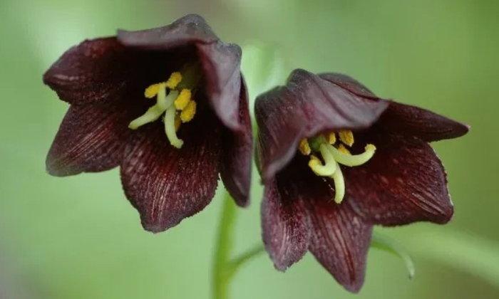 6 ดอกไม้สีดำที่เพิ่มความโดดเด่นให้กับบ้านและแปลงดอกไม้