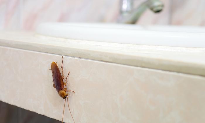 แมลงสาบคือฝันร้าย!  สัตว์ที่อันตรายตลอดกาลกับการเป็นพาหะนำโรคร้ายสู่มนุษย์ ของแบบนี้ต้องกำจัด