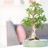 ฮวงจุ้ย : ต้นไม้เสริมมงคล