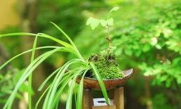 ต้นไม้ที่คนญี่ปุ่นแนะนำว่าเสริมฮวงจุ้ยและช่วยขจัดสิ่งชั่วร้าย (ตอนที่ 1)