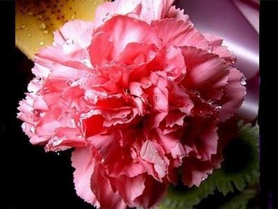 ดอกคาเน่ชั่นแดง