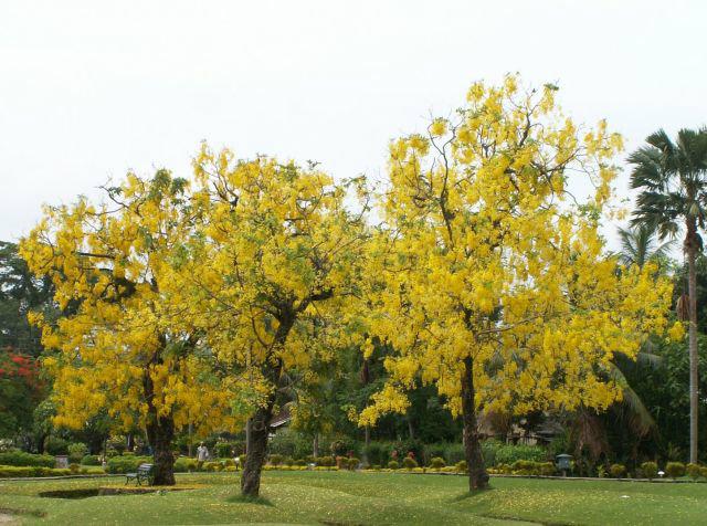 ต้นราชพฤกษ์หรือคูน