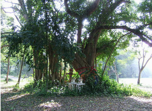 ต้นโพธิ์ ริมถนนใหญ่รามอินทรา