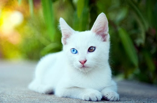 แมวสีขาวปลอด