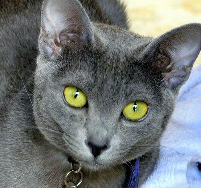 แมวสีสวาท