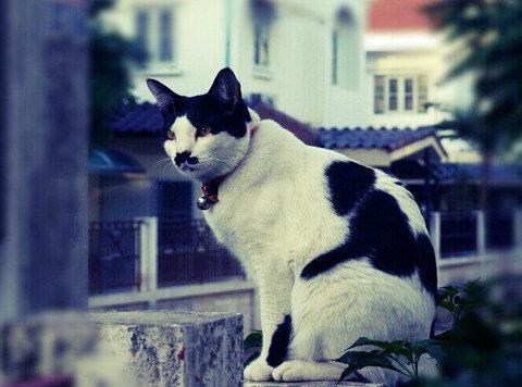 แมวสีเก้าแต้ม