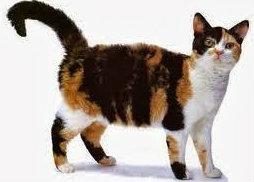 แมวหางขอดและสั้น