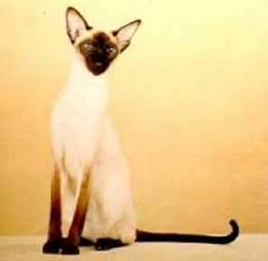 แมวหางขอดแต่มีหางยาว