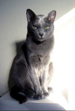 แมวสีเทานัยน์ตารี่เล็ก