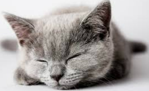 แมวสีเทา