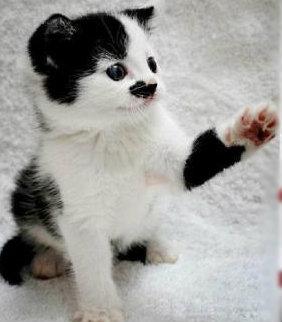 แมวปากมอมข้อเท้าดำ