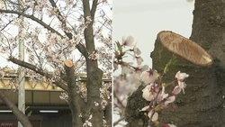 ต้นซากุระที่กำลังบานสะพรั่ง ถูกผู้ไม่ประสงค์ดีตัดลำต้นไปกว่า 11 ต้น