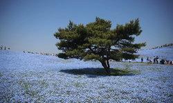 """4 สถานที่ชมทุ่งดอก """"เนโมฟีลา"""" สวยสดงดงามราวกับท้องทะเล"""