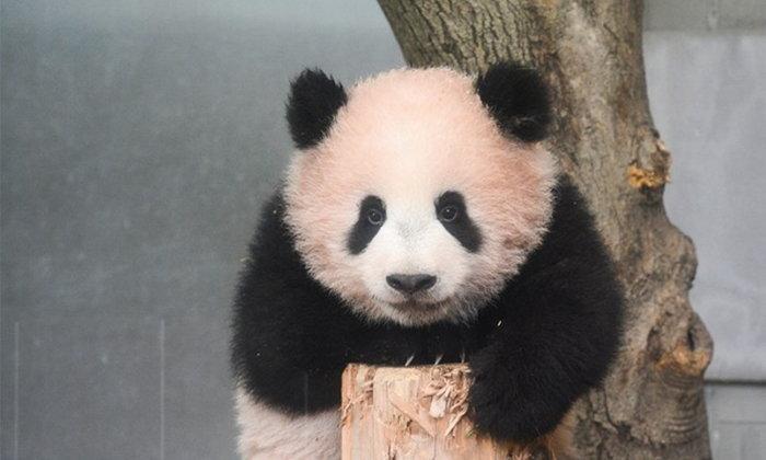 ต้อนรับแพนด้าน้อยสุดน่ารัก Xiang Xiang แห่งสวนสัตว์อุเอโนะ