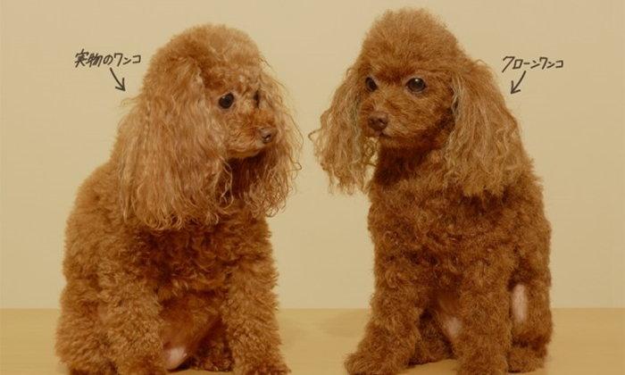 """Clone Wanko"" ตุ๊กตาโคลนนิ่งสุนัขแสนน่ารักในราคาเริ่มต้นที่ 3 ล้านเยน!"