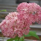 """""""ไฮเดรนเยีย"""" ดอกไม้สัญลักษณ์แห่งฤดูฝน กับหลากหลายเรื่องราวน่ารู้"""