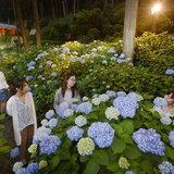 ชมความงดงามในยามค่ำคืนของสวนดอกไฮเดรนเยียที่วัดมิมูโรโตจิกันเถอะ