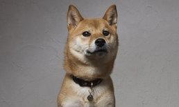 「SHIBA-INU LIFE」รวมเรื่องราวของชิบะสุนัขสายพันธุ์ญี่ปุ่น